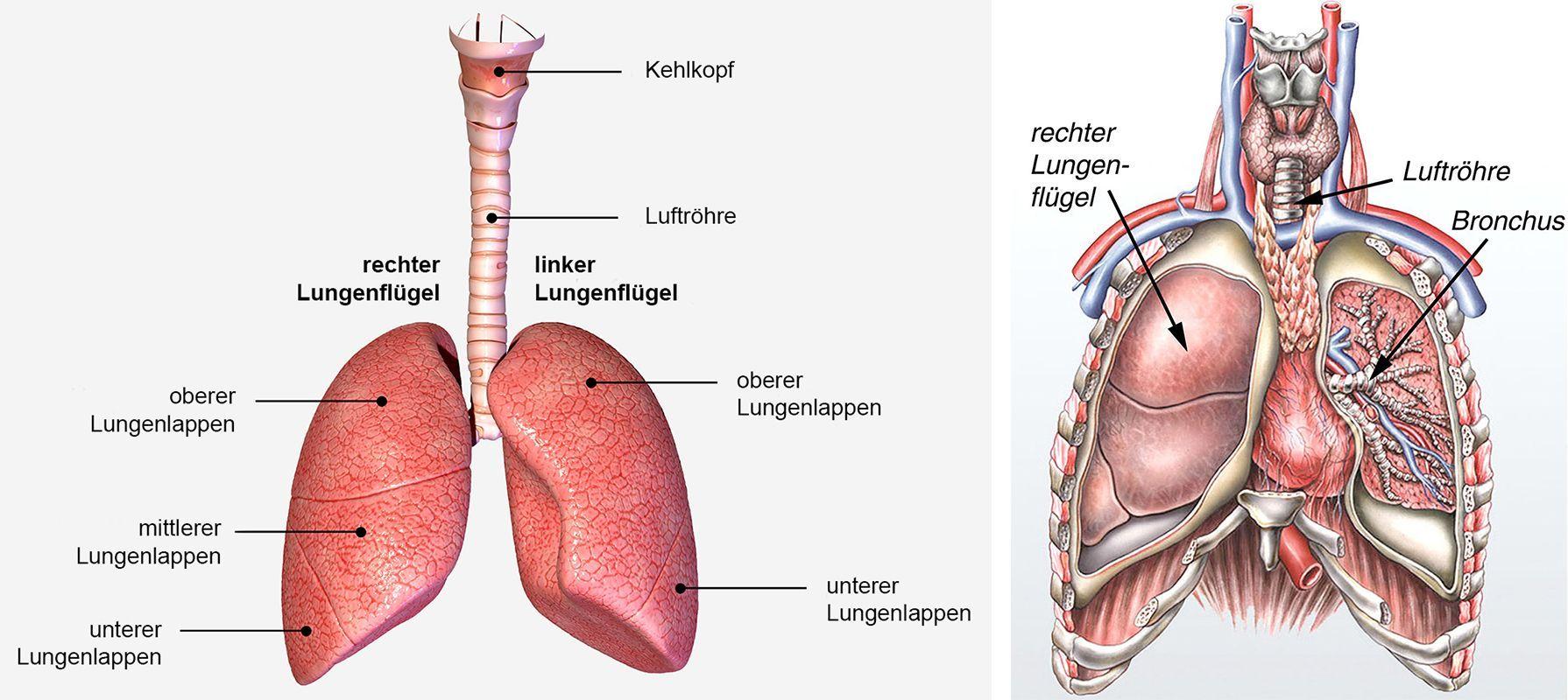Lunge und Brustwand - KSW