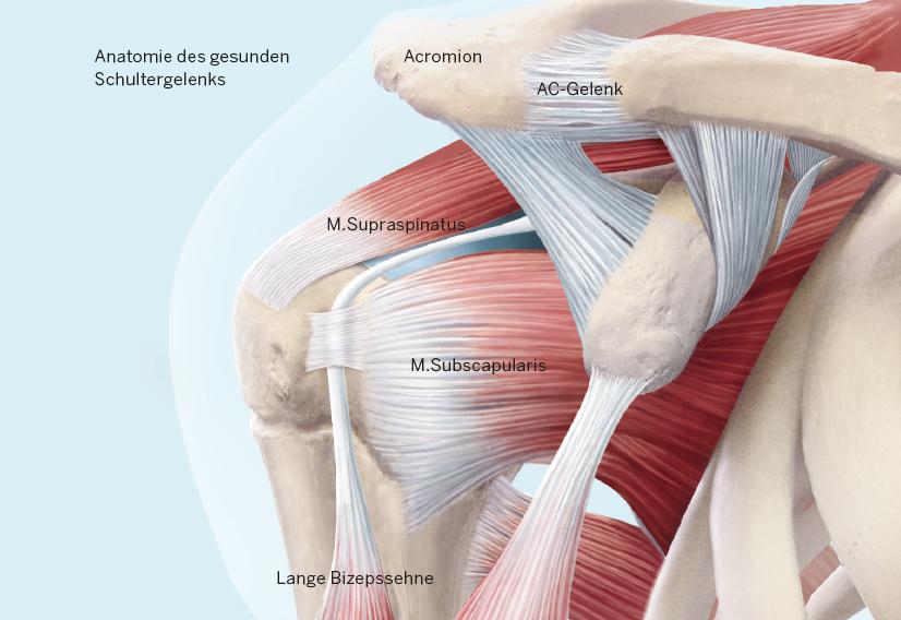 Die Anatomie des Schultergelenks
